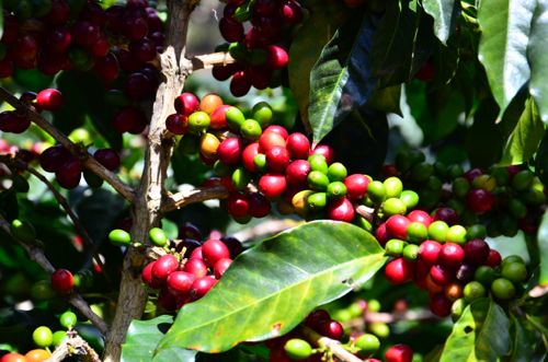 コーヒーチェリー2